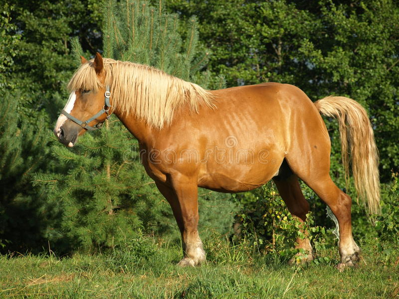 Brown horse royalty free stock image