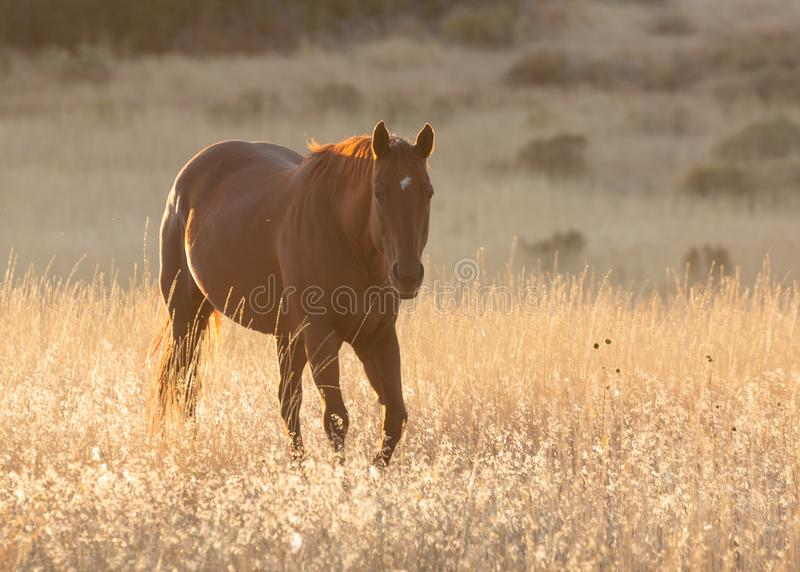 Brown horse back lit by setting sun walking towards the camera stock photo