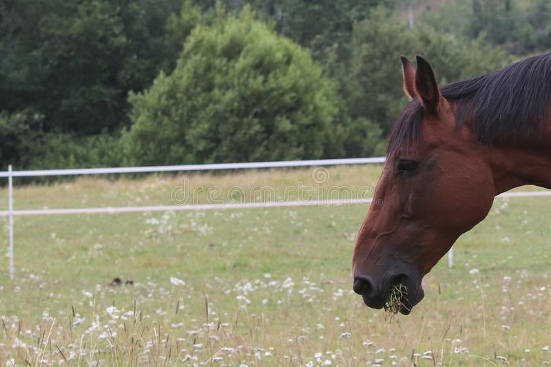A brown horse eating grass on the field and enjoying the summer stock image