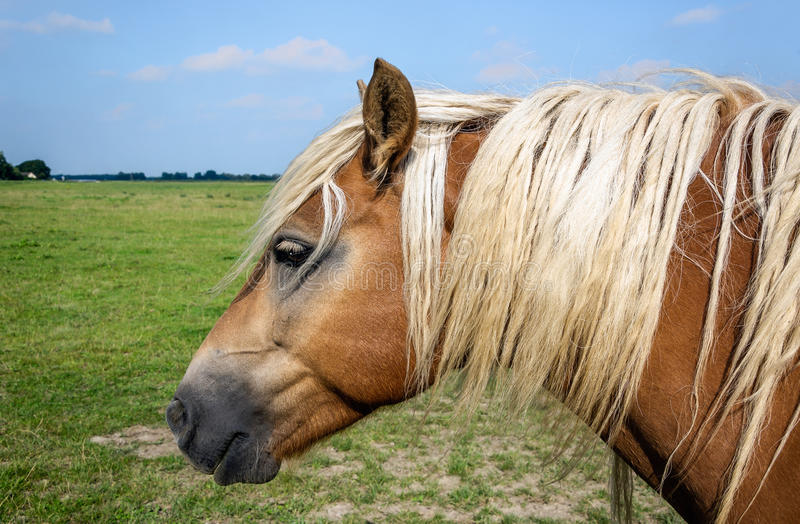 Brown horse with blond mane posing patiently for the photographer royalty free stock images