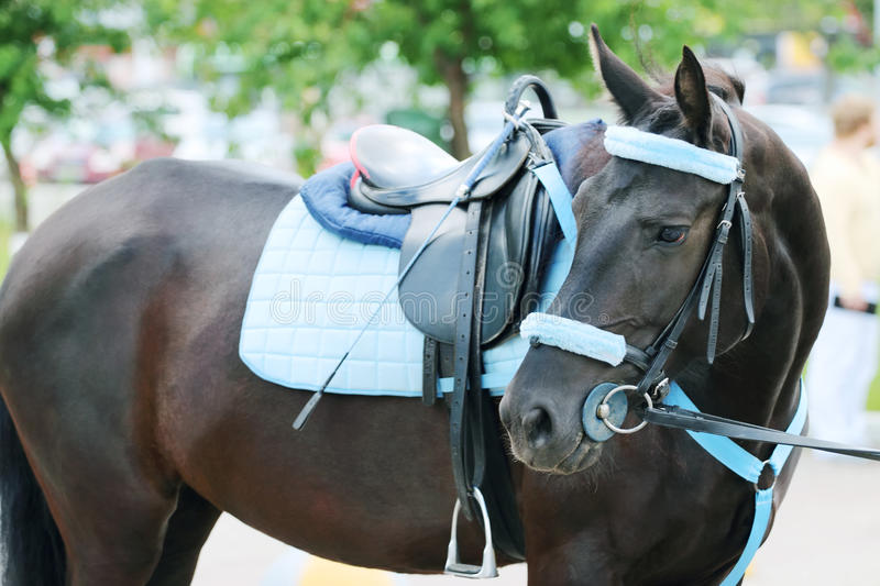 Brown horse with blue harness with saddle stands stock photography