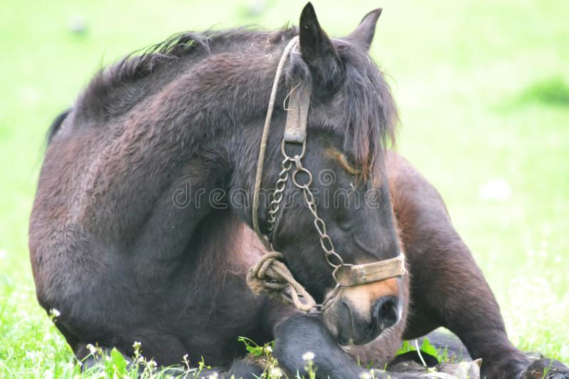 Brown horse close-up photography. On green grass royalty free stock image