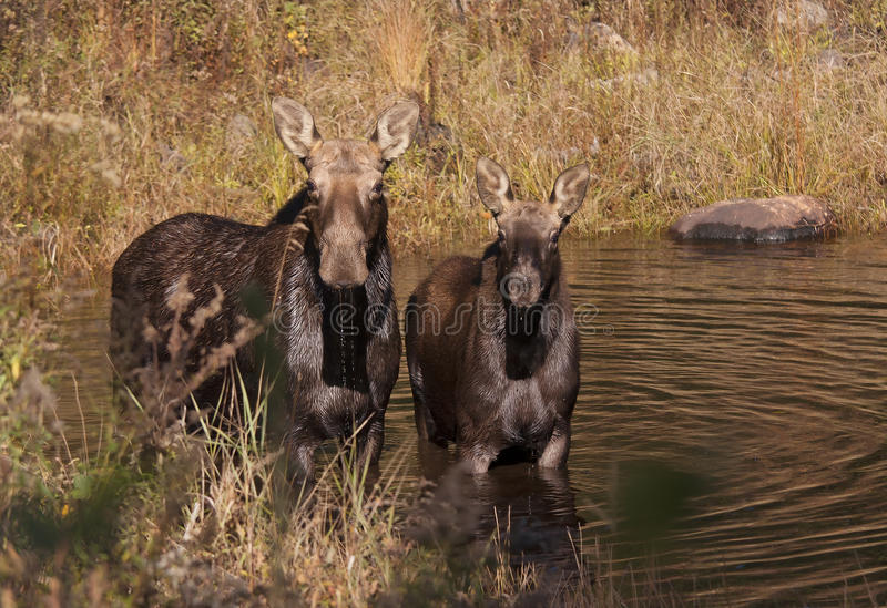 Cow moose and calf feeding in a pond in in Algonquin Park. Cow moose and calf Alces alces feeding in a pond in in Algonquin Park royalty free stock image
