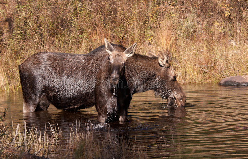 Cow moose and calf feeding in a pond in in Algonquin Park. Cow moose and calf Alces alces feeding in a pond in in Algonquin Park royalty free stock photography