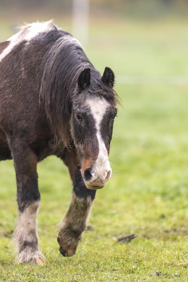 Brown horse with dirty fur walking on a meadow royalty free stock images