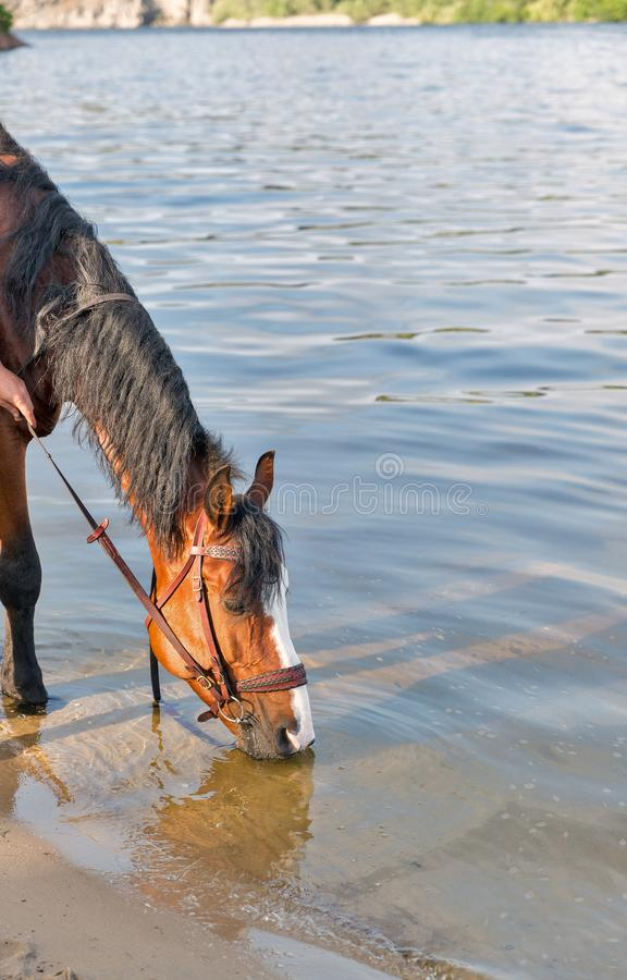 Brown horse drinking river water royalty free stock photography