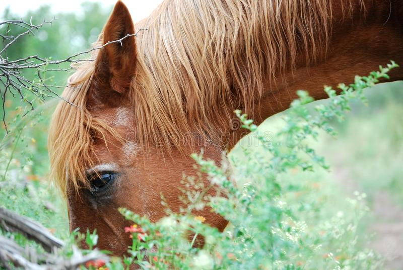 Brown horse eating in field royalty free stock photo