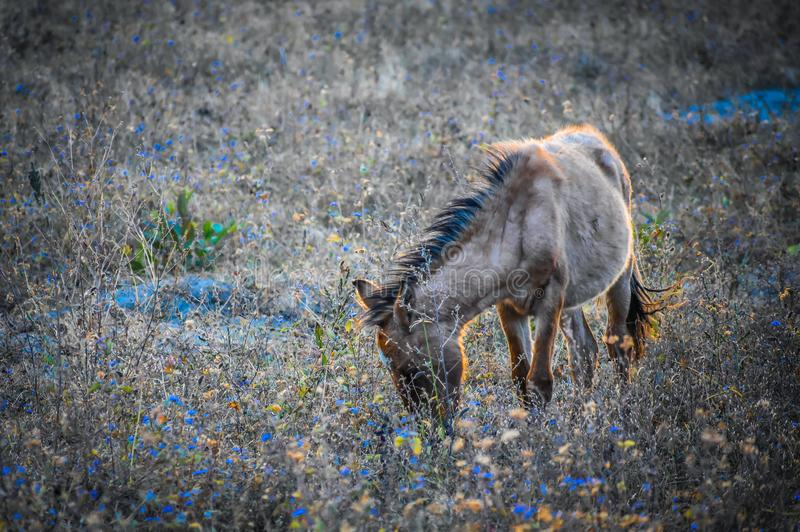 Brown Horse Eating Grass on a Field royalty free stock images