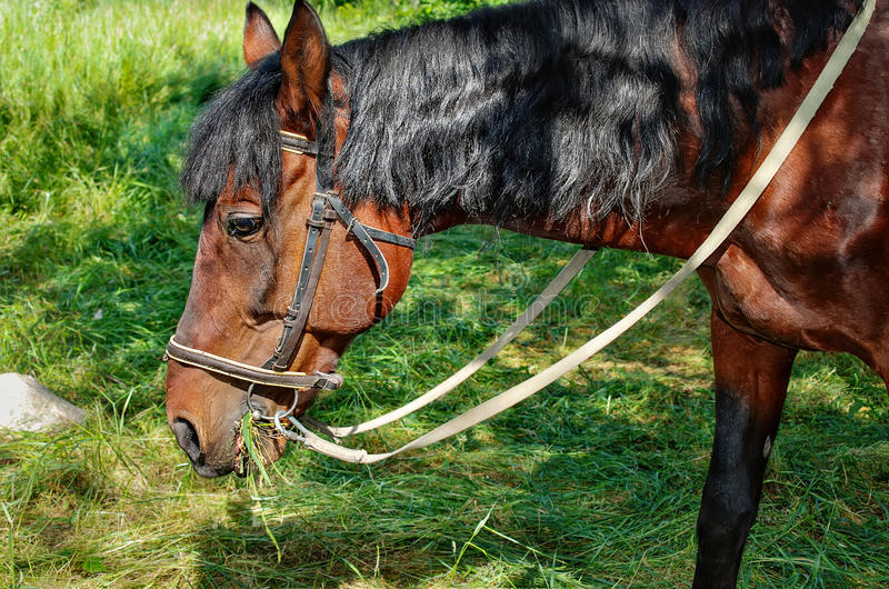 Brown horse eating grass on the field stock photo