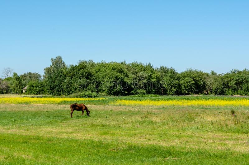 Brown horse eating grass in the field near village stock images