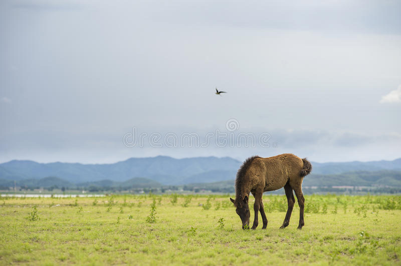 Brown horse eating grass on green field royalty free stock photos