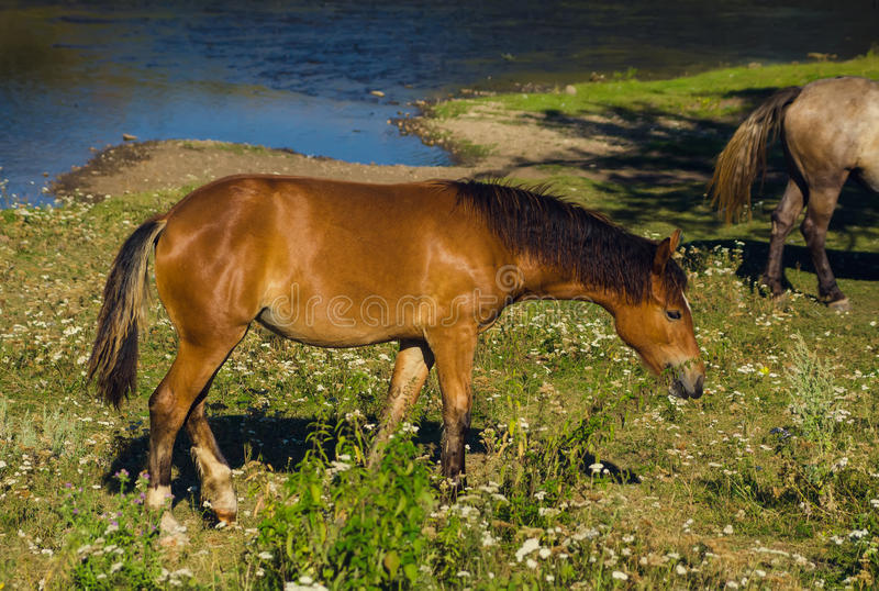 Brown horse eating grass near water stock image