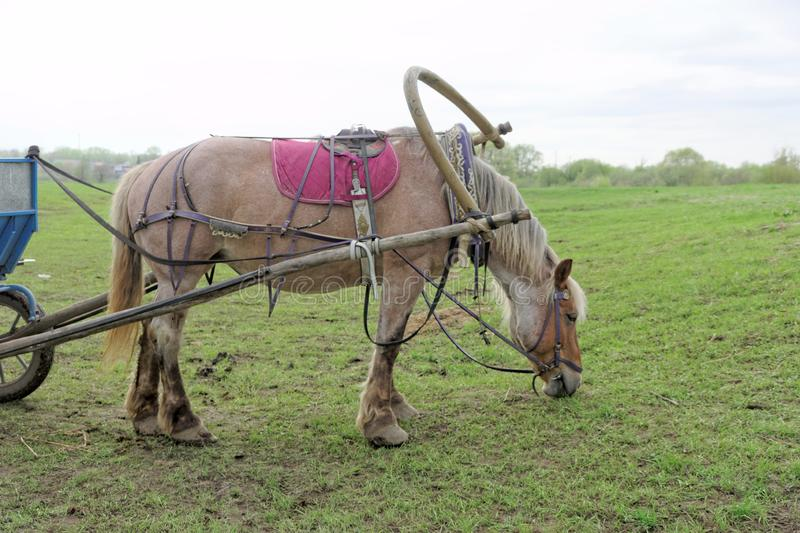 Brown horse eating grass and at the same time it is harnessed to a cart. stock image