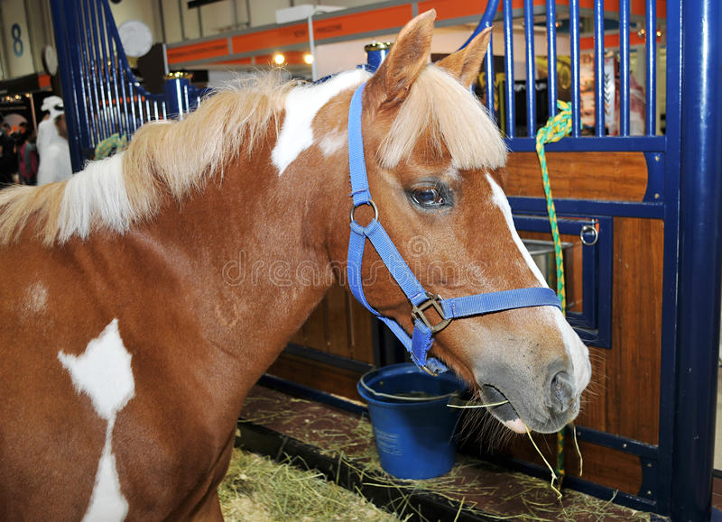 Download Brown Horse eating grass stock photo. Image of fund, counter - 33505686
