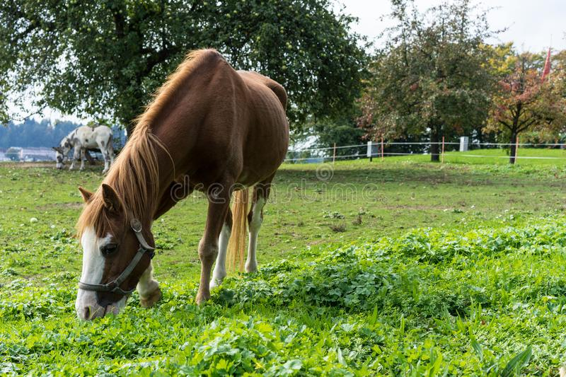 Brown horse eats grass on the meadow in autumn side view end of summer stock photos