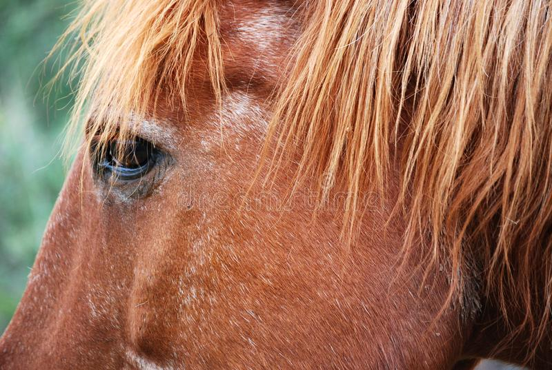 Brown horse eye in argentinian cordoba field royalty free stock photos
