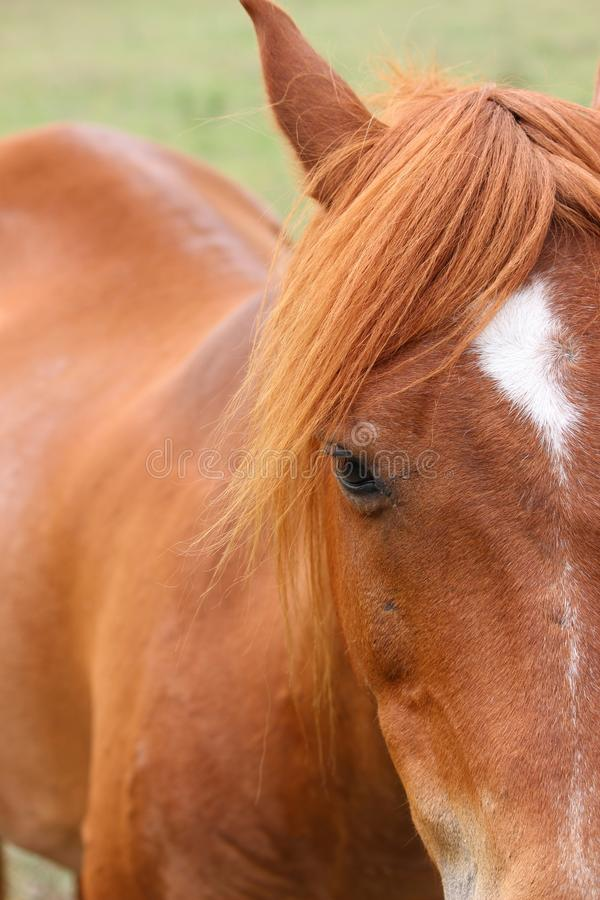 Brown horse. Face stock images