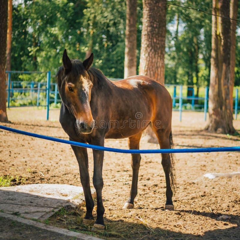 Brown Horse In Farm Paddock. Beautiful Brown Horse In Farm Paddock. Farm Animal stock image