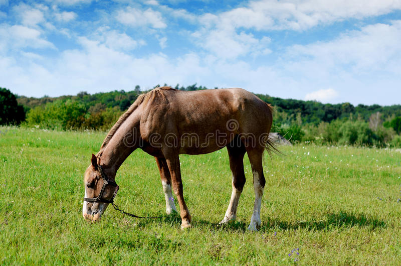 Download Brown Horse Feeding On A Summer Greenfield. Rustic Scene Stock Photo - Image: 83720011