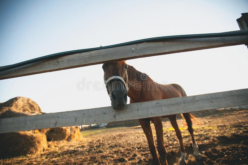 Brown horse in a fenced pen on the farm, over the fence, looking into the camera. Young Mare on a Sunny day. Near bales of hay stock images