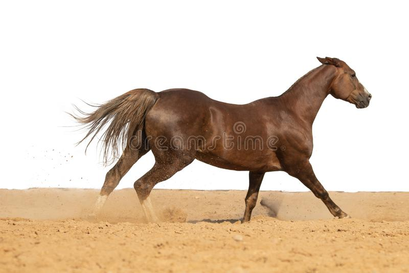 Horse jumps on sand on a white background. Brown horse galloping on sand on a white background, without people.nn stock images