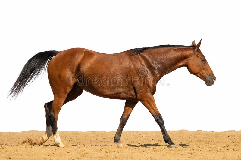 Horse jumps on sand on a white background. Brown horse galloping on sand on a white background, without people.nn stock photography