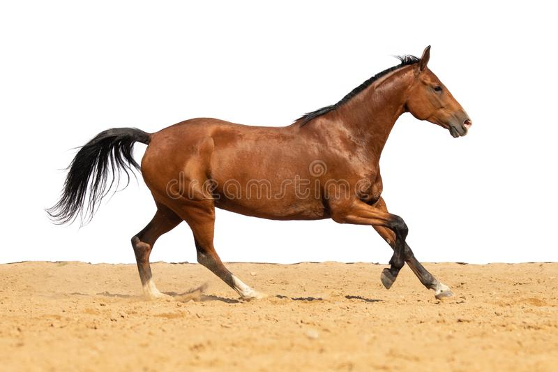 Horse jumps on sand on a white background. Brown horse galloping on sand on a white background, without people.nn stock image