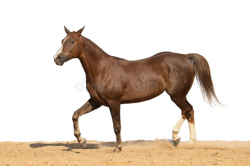 Horse jumps on sand on a white background. Brown horse galloping on sand on a white background, without people.nn royalty free stock images