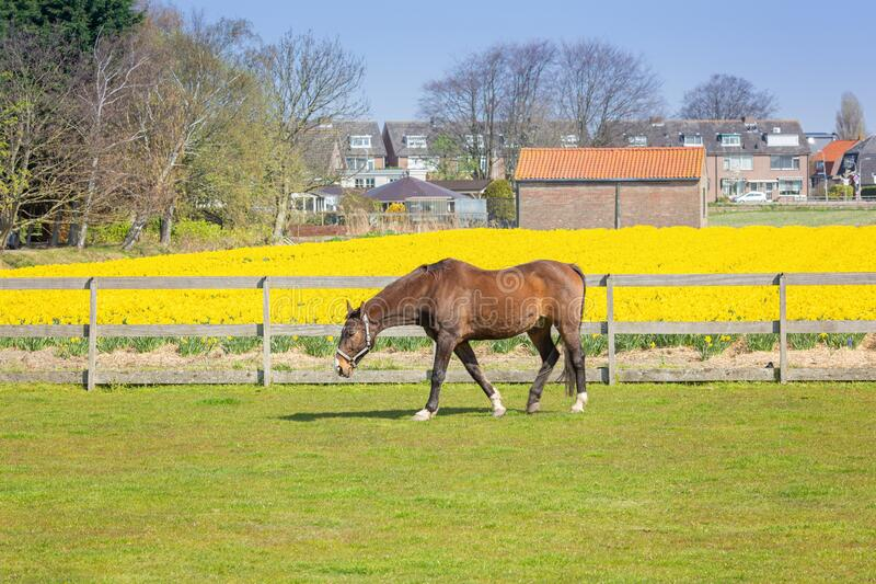 A brown horse grazes on a farm. Field of yellow daffodils. Country dutch spring landscape. Image stock photos