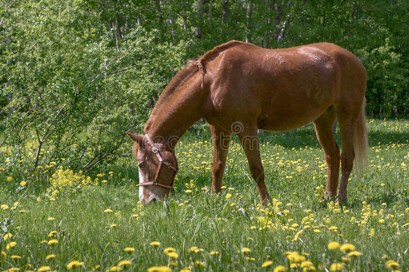 Brown horse grazing royalty free stock photos