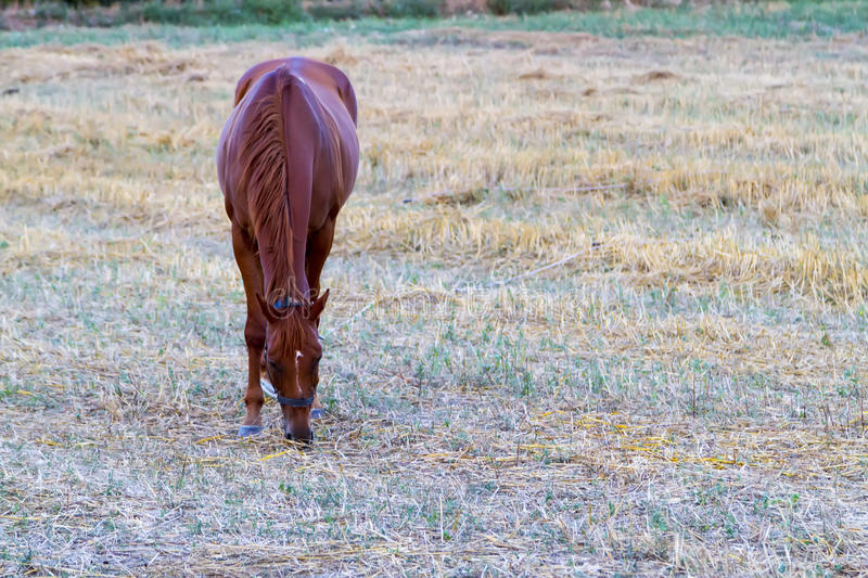 Brown horse grazing on fresh grass royalty free stock photo