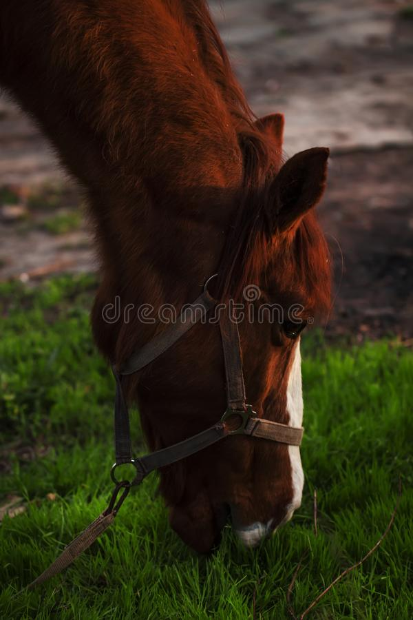Brown horse grazing at sunset, portrait in profile, blurred image, selective focus royalty free stock photos