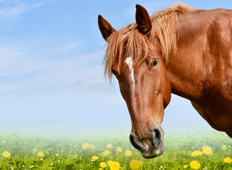 Brown horse head isolated on the meadow. A closeup portrait of the face of a horse royalty free stock photos