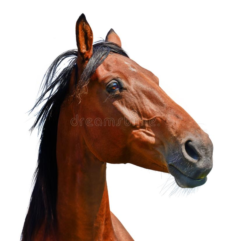 Brown horse head isolated on the white background. A closeup portrait of the face of a horse. Brown horse head isolated on the white background. A closeup light royalty free stock images