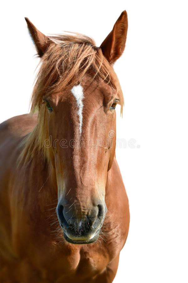 Brown horse head isolated on white. A closeup portrait of the face of a horse royalty free stock image