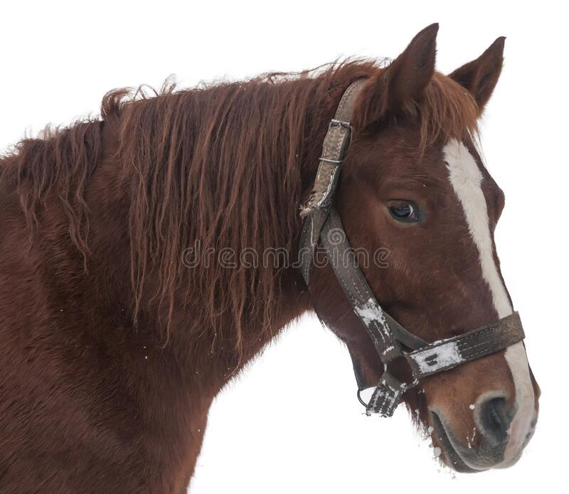 Brown horse head isolated on white stock photos