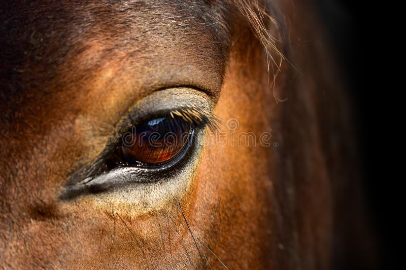 Brown horse head eyes. A closeup portrait of the face of a horse royalty free stock photography