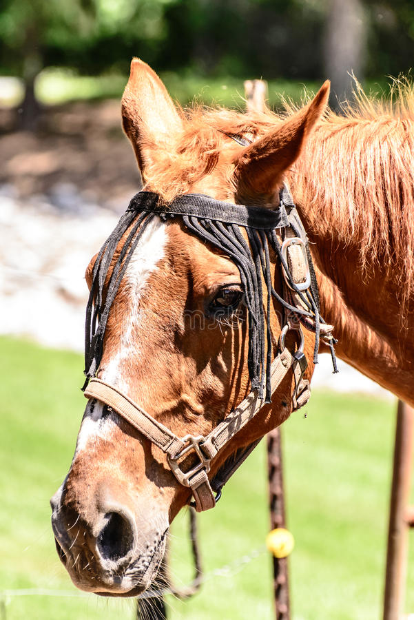 Brown horse head. A brown horse portrait style royalty free stock photo