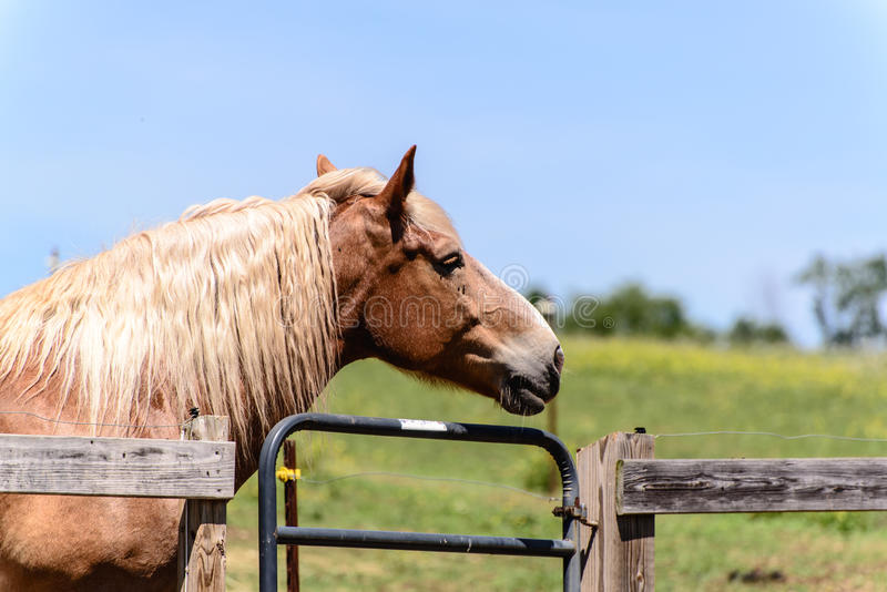 Brown horse head. A brown horse portrait style stock photo