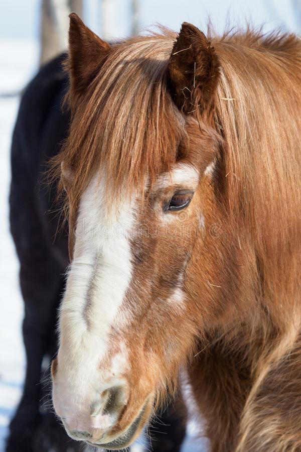 Brown horse head in sunlight in winter. Nature and animals royalty free stock image