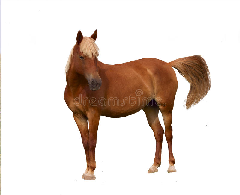 Brown horse. Isolated. Over white. Nobody. royalty free stock photos