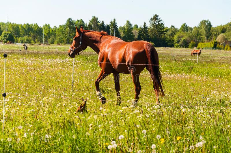 Brown horse with little brown dog in the field stock images