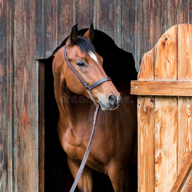 Brown horse looking out of the stable. Horse portrait closeup. Square photo stock images