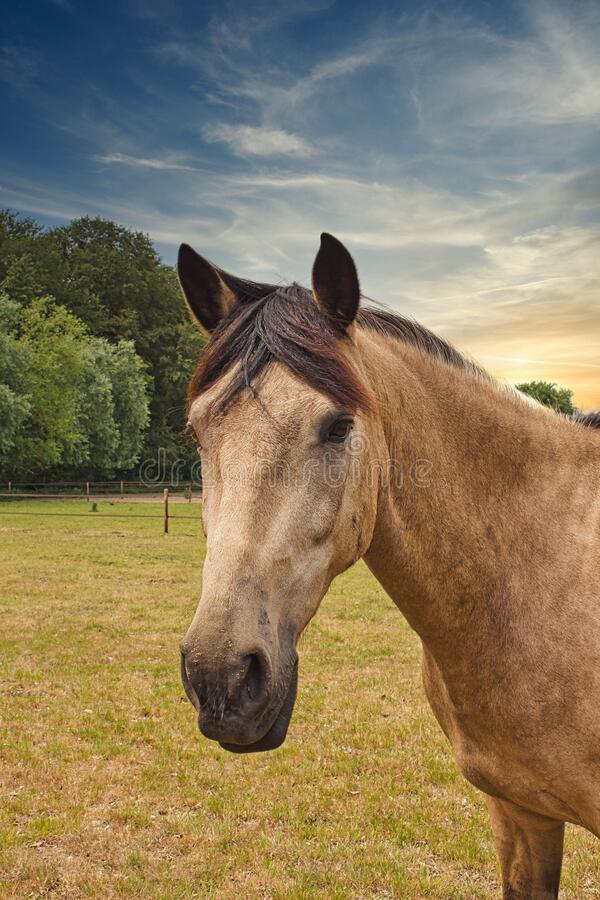 Brown horse in meadow at sunset royalty free stock photos