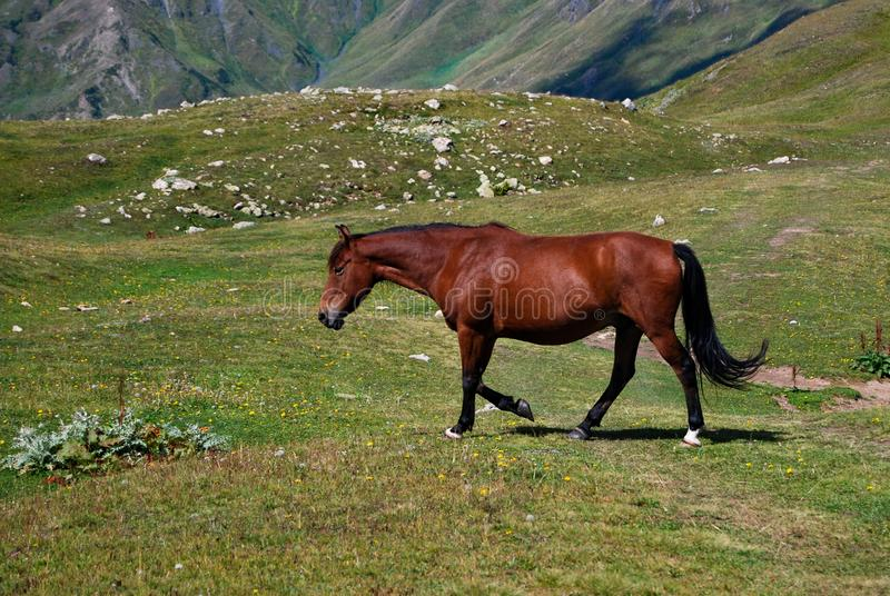 Brown horse in mountain pasture stock photography