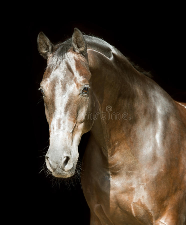 Free Brown Horse On The Dark Background Stock Images - 52751364