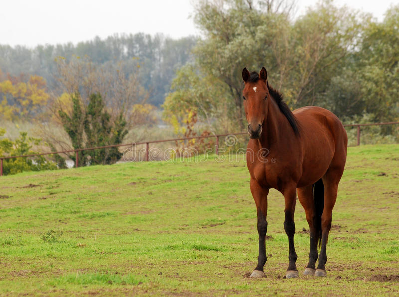 Download Brown horse in pasture stock photo. Image of stallion - 26473822