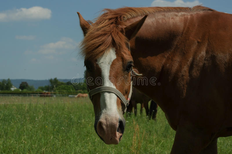 Brown horse on the pasture, close up part of body stock photography