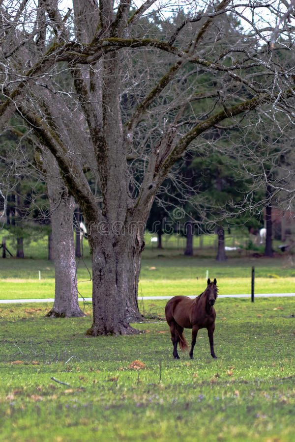 Brown horse in pecan grove - vertical royalty free stock image