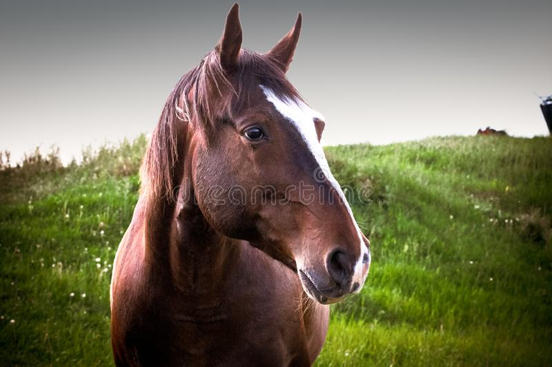 Closeup of a Brown Horse Standing in a Meadow royalty free stock photo